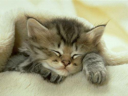 a sleeping kitten